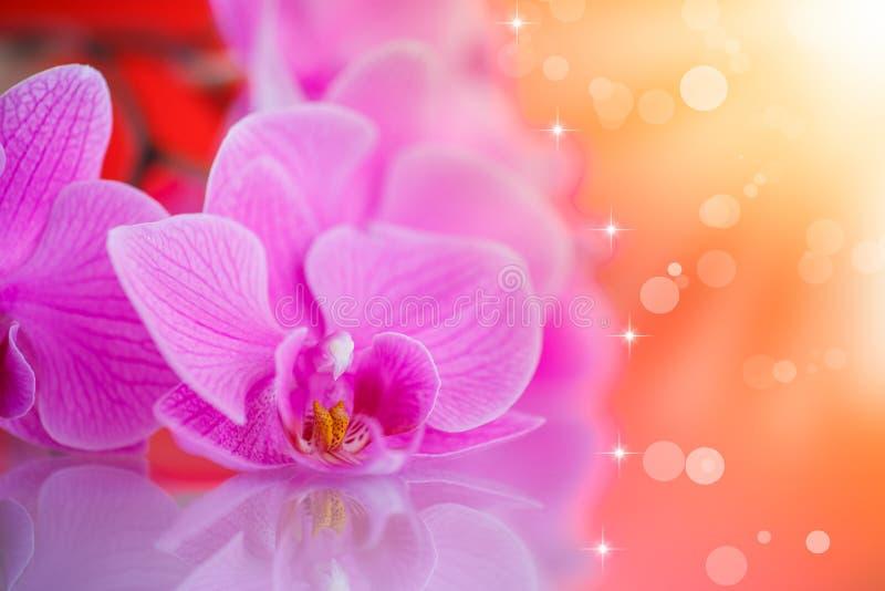 Härliga purpurfärgade phalaenopsisblommor fotografering för bildbyråer