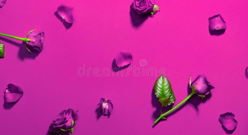 Härliga purpurfärgade rosor på röd bakgrund Ferie steg blommor med flatlay sidor och kronblad Förälskelse dag för St-valentin` s royaltyfri fotografi