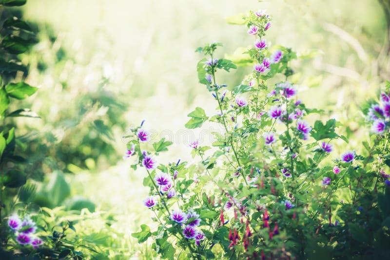 Härliga purpurfärgade stockrosblommor i sommarträdgård arkivbilder