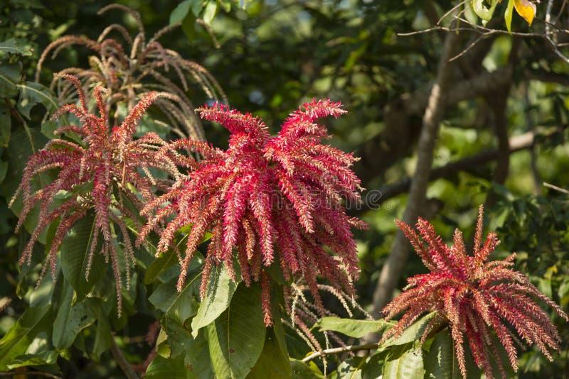 Härliga röda blommor av Ant Tree eller Triplaris Brasiliensis royaltyfri foto