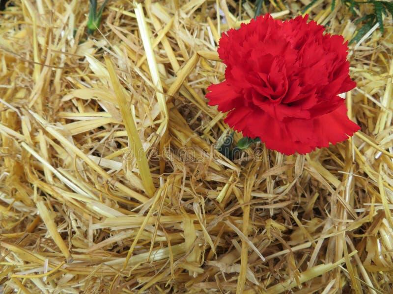 Härliga röda blommor av trevlig färg och stor arom stoppat om sugrör arkivfoto