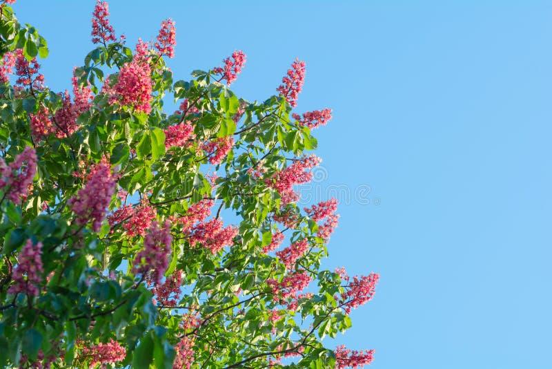 Härliga röda blommor för kastanjebrunt träd blomstrar tätt upp över blå himmel arkivbild