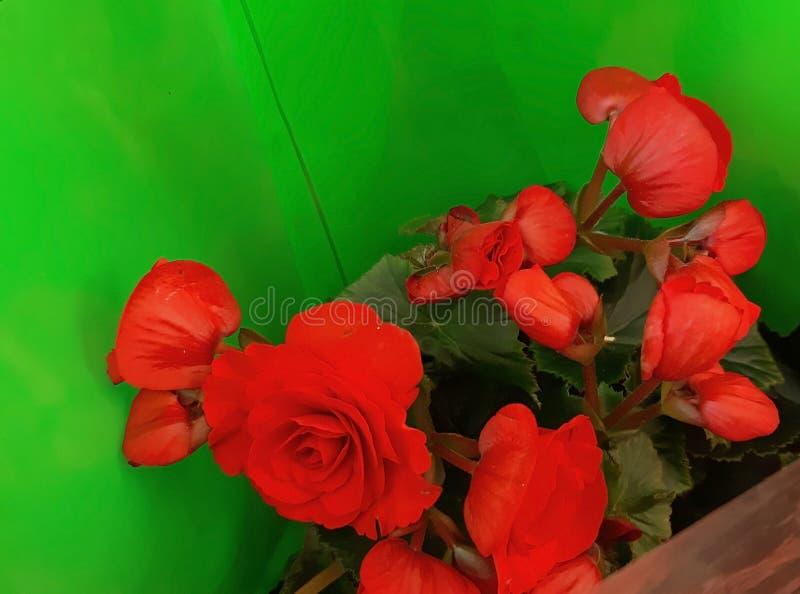 Härliga röda blommor på försäljning, i en grön folie royaltyfria bilder