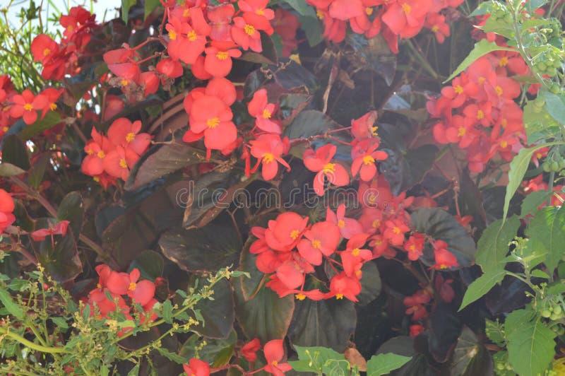 Härliga röda blommor som är typiska av staden av Volos Arkitekturhistorielopp fotografering för bildbyråer