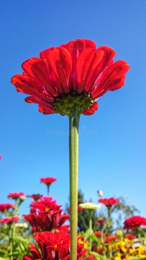 Härliga röda himlar för blå himmel för blomma royaltyfria bilder