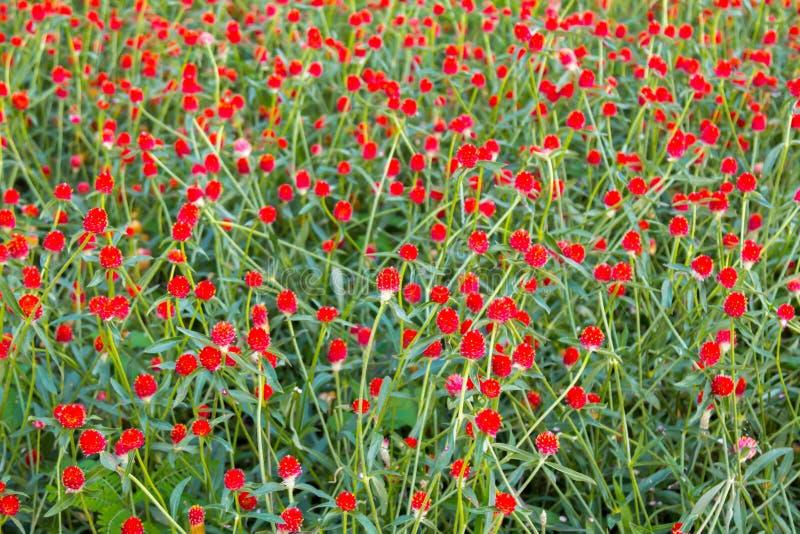 Härliga röda kosmosblommor i trädgården royaltyfria bilder