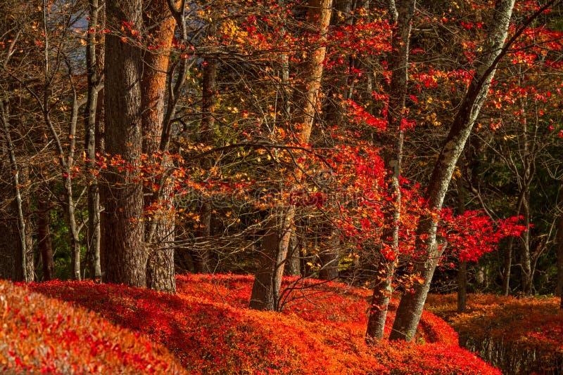 Härliga röda lövverksidor i höstskogen arkivbilder