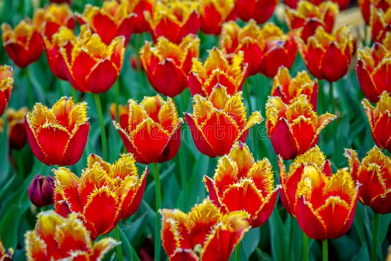 Härliga röda och gula satte fransar på tulpan arkivbild