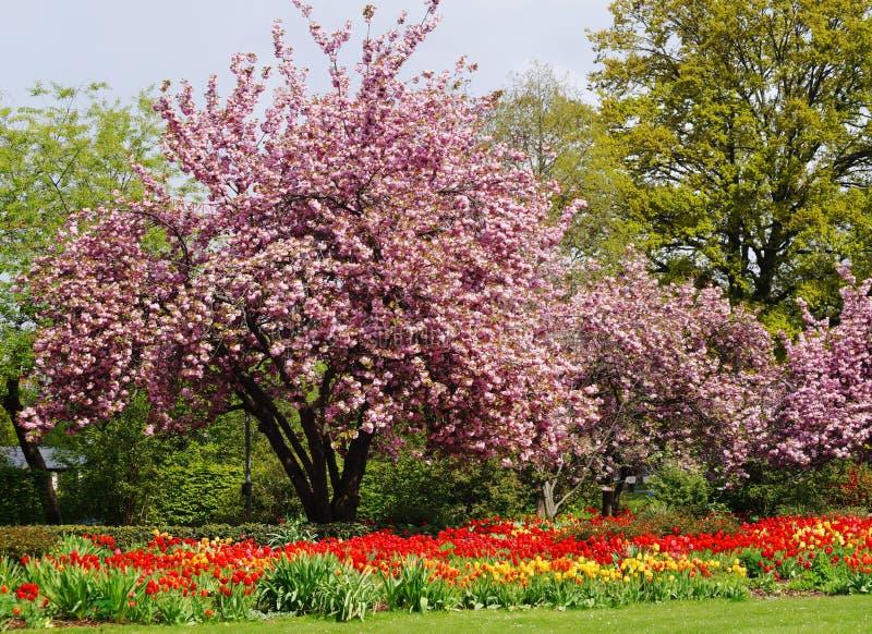 Härliga röda och gula tulpan och ett rosa träd royaltyfria bilder