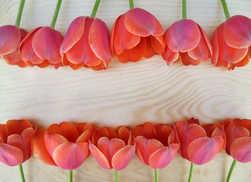 Härliga röda och rosa tulpan är lade ut itu rader på en träyttersida arkivfoton