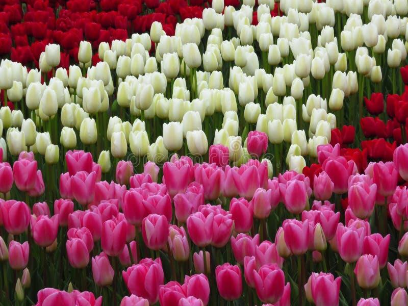 Härliga röda, rosa vita tulpanblommor avbildar Många tulpan som blommar i trädgården arkivfoto