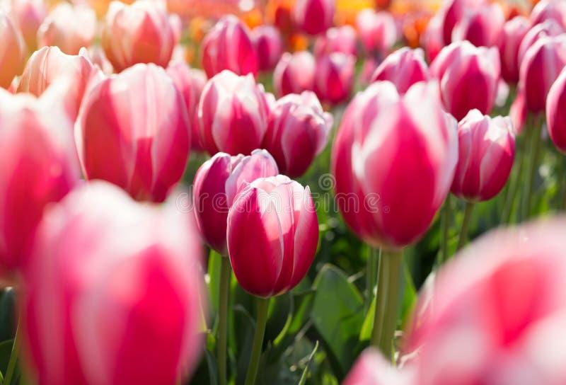 Härliga röda tulpan i en blomsterrabatt med soligt ljus royaltyfri fotografi