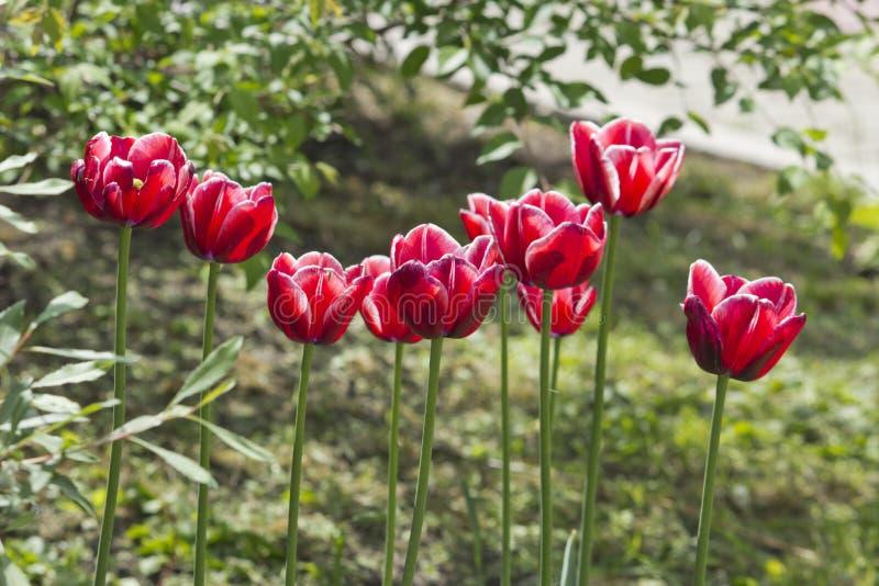 Härliga röda tulpan i trädgårdvårblommorna royaltyfria bilder