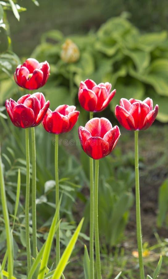 Härliga röda tulpan i trädgårdvårblommorna royaltyfri foto