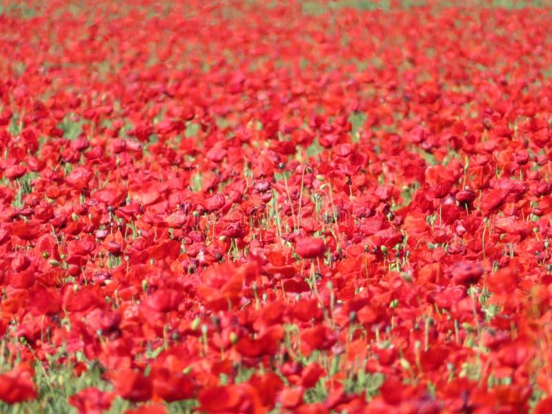 Härliga röda vallmo som är fulla av blommor blandade med sädesslag royaltyfri fotografi
