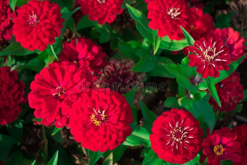 Härliga röda zinniablommor i trädgården mot bakgrund field bl?a oklarheter f?r gr?n vitt wispy natursky f?r gr?s begrepp isolerad royaltyfri bild