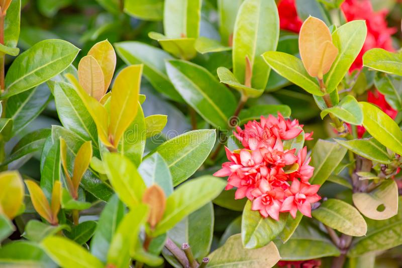 Härliga Rad Ixora med små blommor i trädgård royaltyfri fotografi