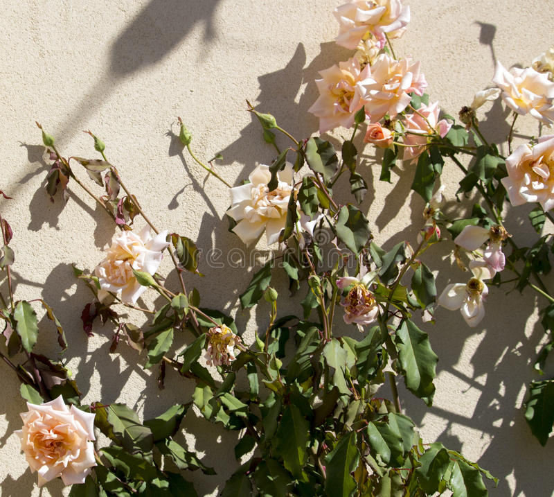 Härliga romantiska härliga bleka blåste rosor för laxrosa färger som fullständigt blommar i höst royaltyfria bilder
