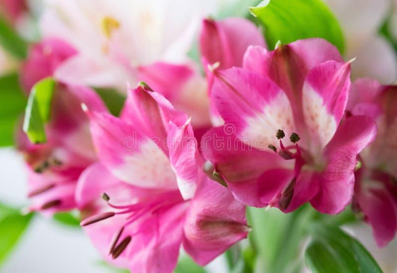 Härliga rosa alstermeries royaltyfria bilder