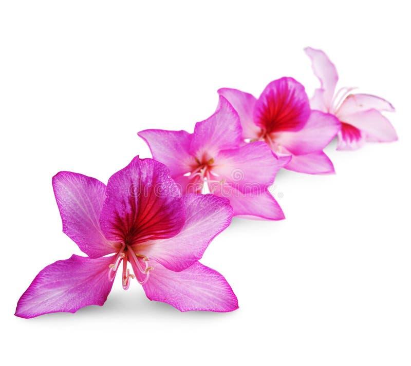 Härliga rosa blommor fotografering för bildbyråer