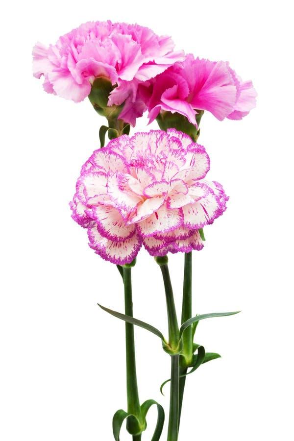 Härliga rosa blommor arkivbilder