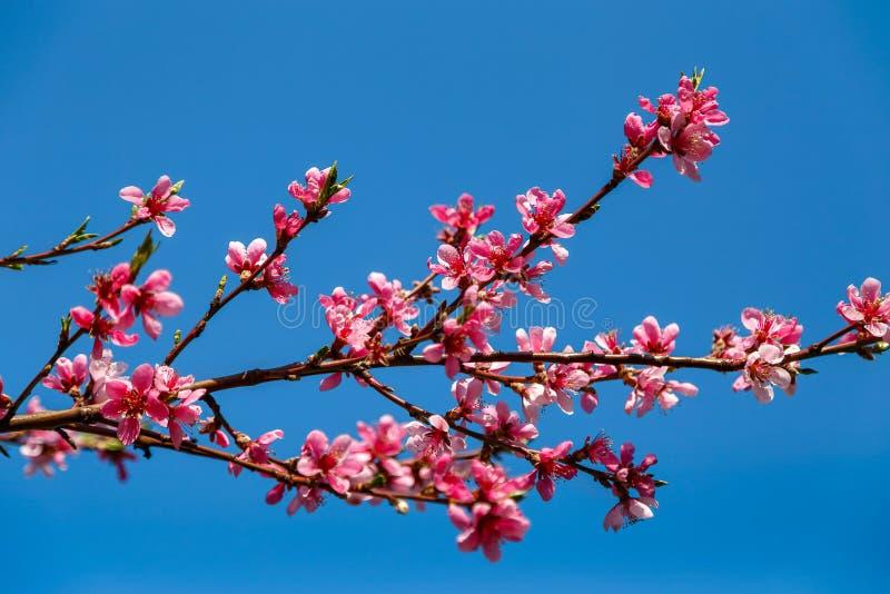 Härliga rosa blommor av vårträdet arkivfoto