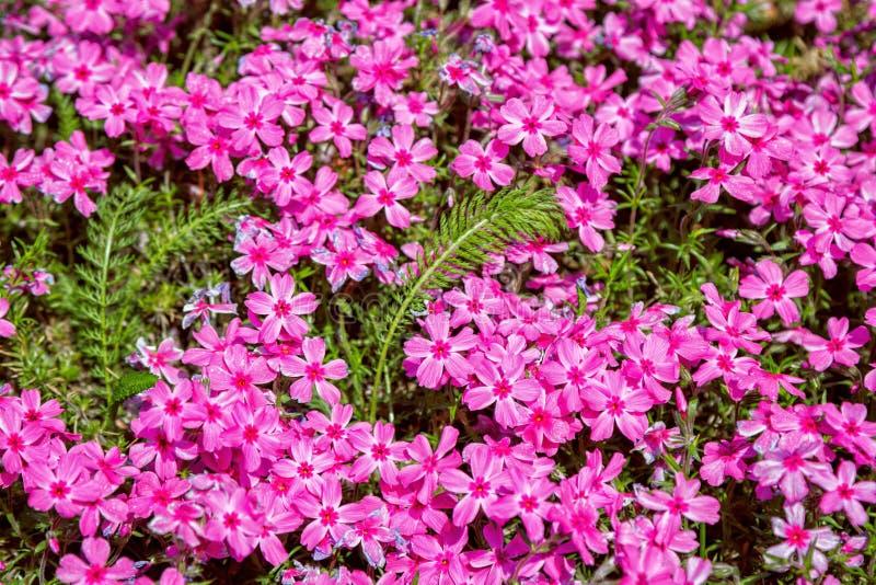 Härliga rosa blommor för glim för sileneacaulismossa arkivfoto