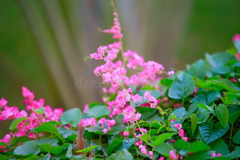 Härliga rosa blommor och kameleontdjur i trädgård med naturlig grön bakgrund royaltyfria bilder