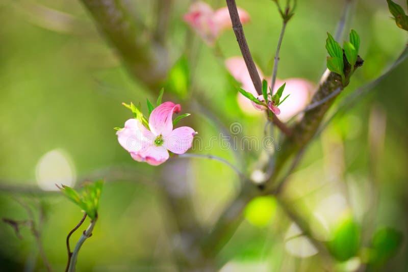 Härliga rosa blomningar för blomma skogskornell arkivfoto