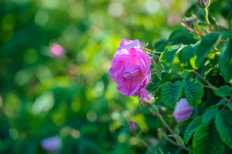 Härliga Rosa damascena i rosträdgård royaltyfri foto