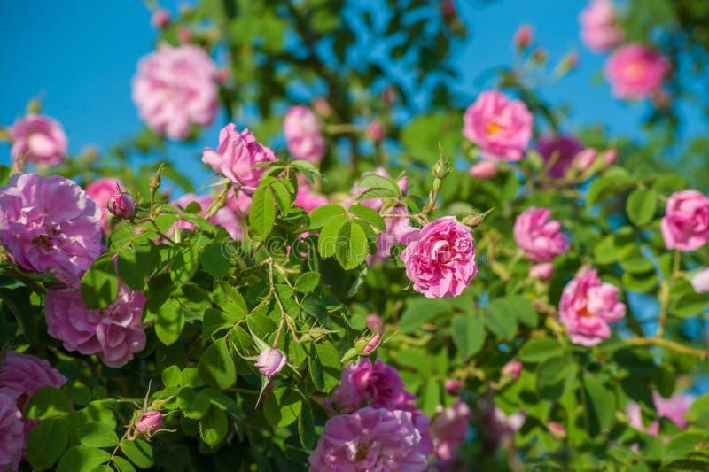 Härliga Rosa damascena i rosträdgård arkivbilder
