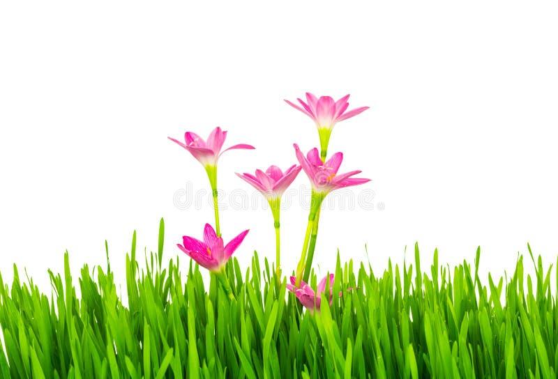 Härliga rosa färgblommor och gräs för ny vår som grönt isoleras på fotografering för bildbyråer