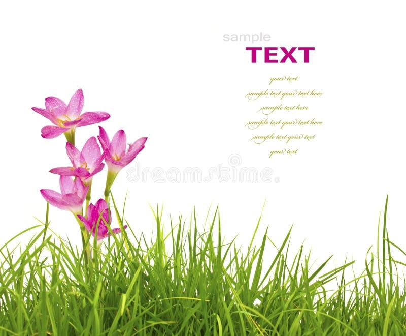 Härliga rosa färgblommor och isolerat gräs för ny vår grönt fotografering för bildbyråer