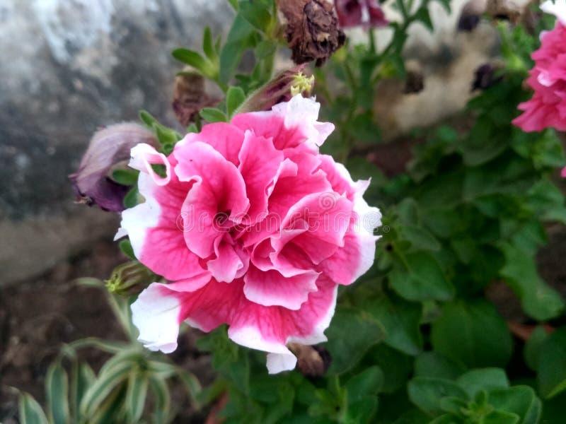 Härliga rosa färger med broderad vit blommar i trädgården arkivfoto
