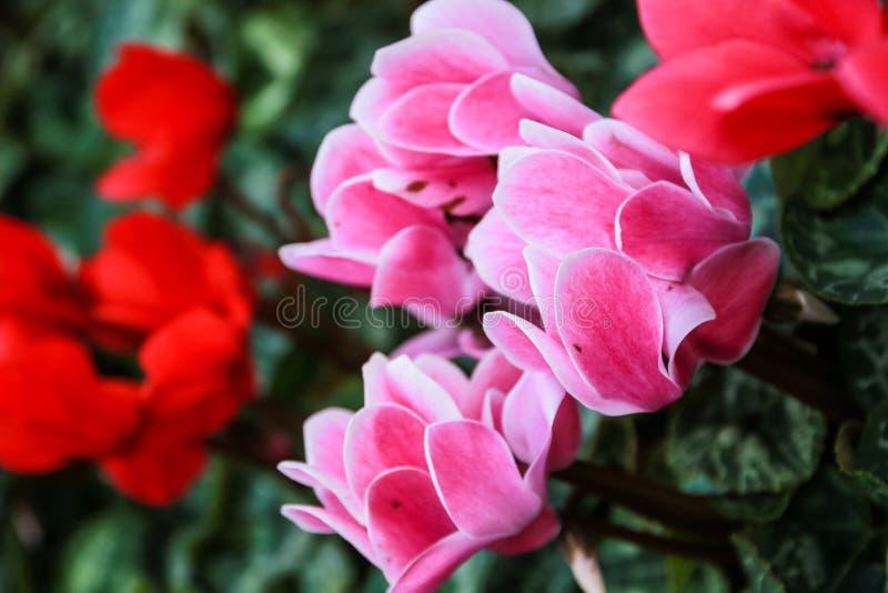Härliga rosa färger och röda cyklamenblommor royaltyfri bild
