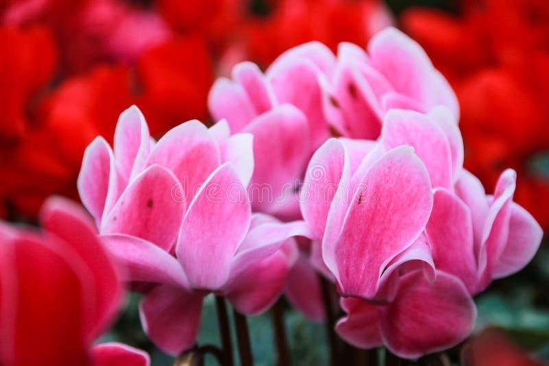 Härliga rosa färger och röda cyklamenblommor royaltyfri fotografi