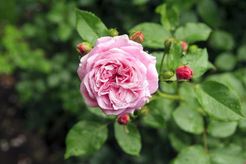 Härliga rosa färger steg i trädgård efter regn arkivbilder