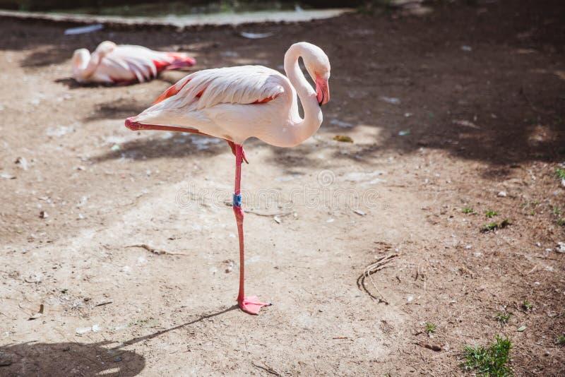 Härliga rosa flamingo blir i ett ben i liten zoo royaltyfria bilder