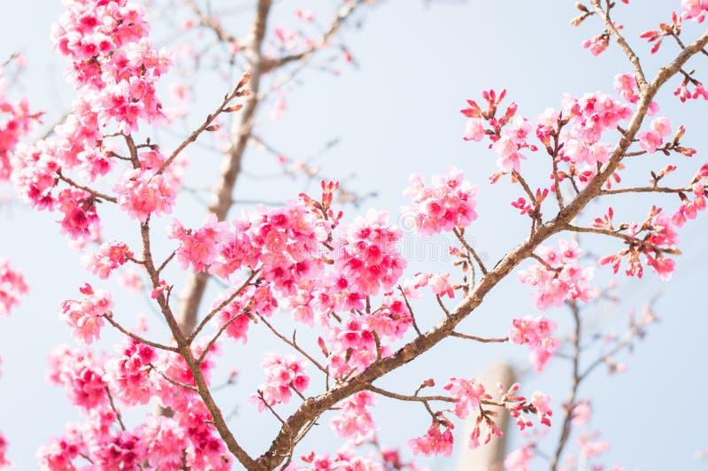 Härliga rosa körsbärsröda blomningar i trädgård arkivbilder