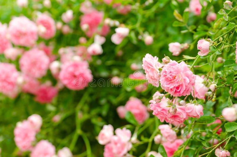Härliga rosa klättringrosor i vår i trädgården arkivbild