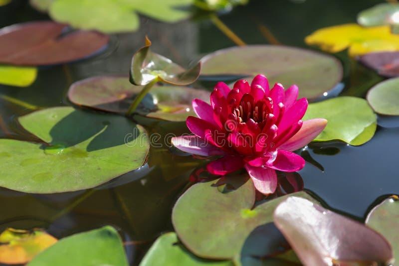 Härliga rosa Lotus, vattenväxt i ett damm royaltyfri bild