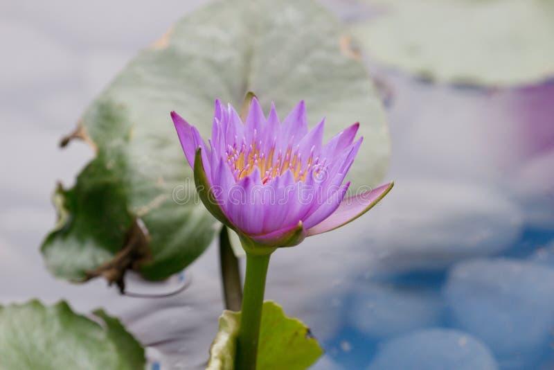 Härliga rosa Lotus, vattenväxt i ett damm arkivfoto