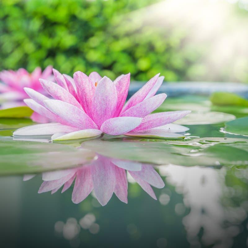 Härliga rosa Lotus, vattenväxt med reflexion royaltyfri bild