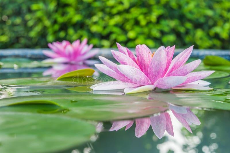 Härliga rosa Lotus, vattenväxt med reflexion i ett damm royaltyfria foton