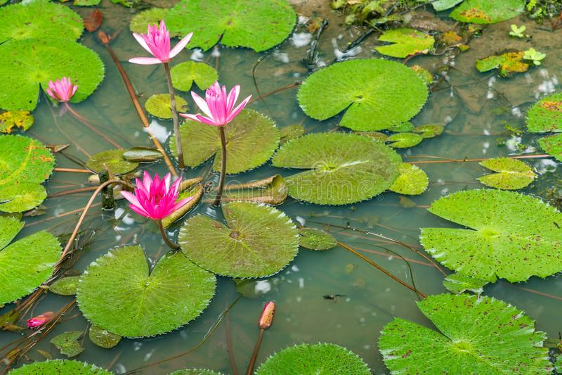 Härliga rosa Lotus, vattenväxt med reflexion i ett damm Grön bakgrund arkivbild