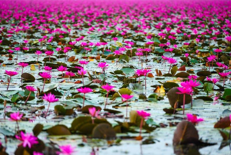 Härliga rosa lotusblommablommor arkivbilder
