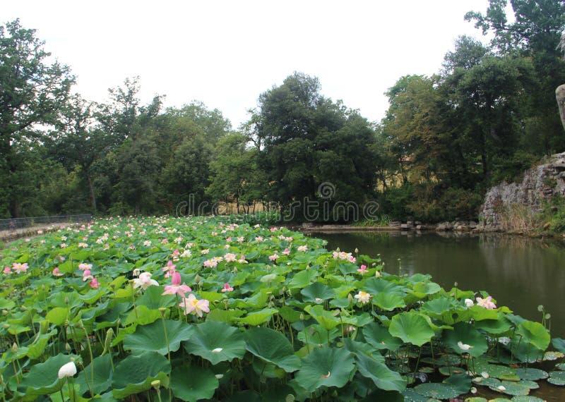 Härliga rosa lotusblommor arkivbilder