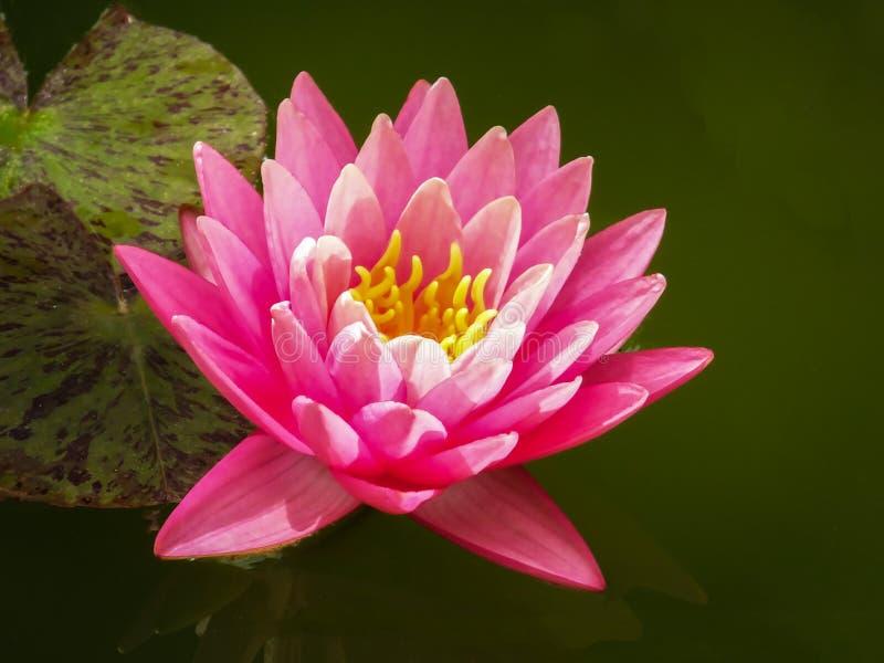 Härliga rosa näckros- eller lotusblommablommaPerrys orange solnedgång Nymphaeaen ler från det gröna vattnet av dammet arkivbild