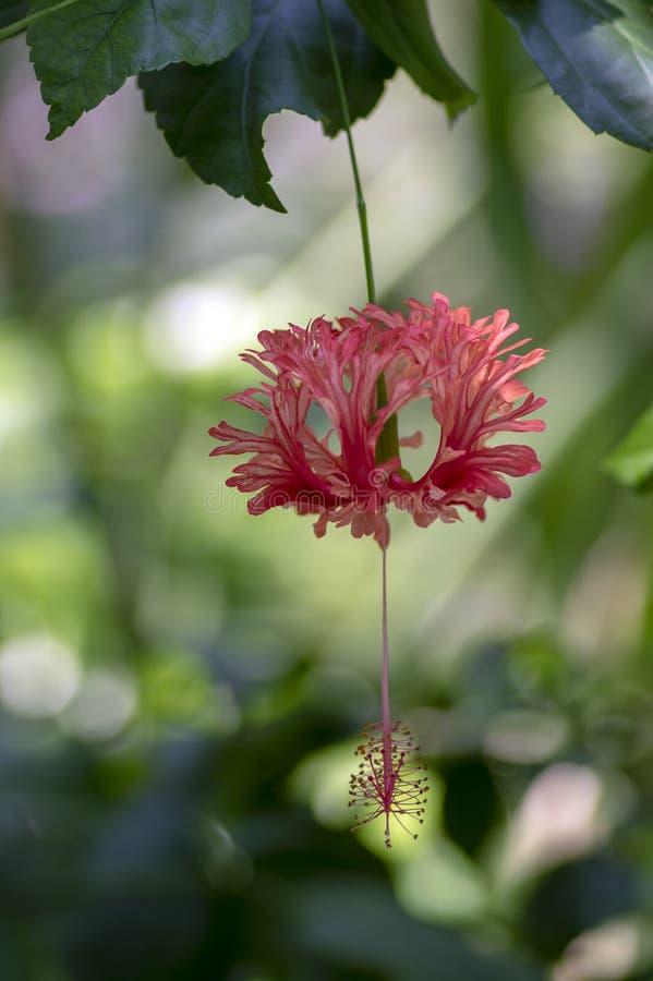 Härliga rosa orange blommor för hibiskusschizopetalus i blom, dekorativ fantastisk blomma växt, hängande blomma arkivbild