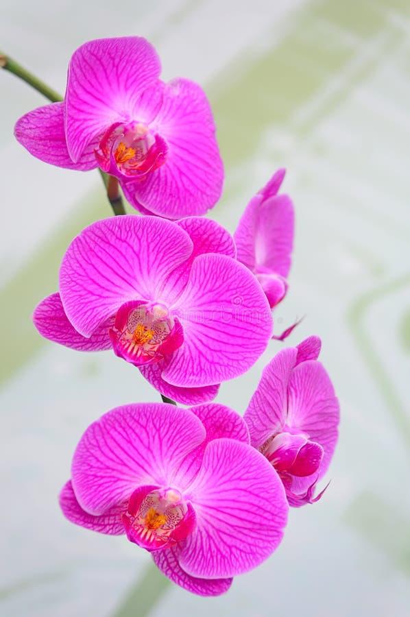 Härliga rosa orkidér royaltyfri foto